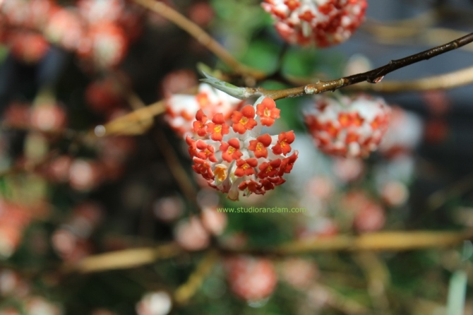 Edgeworthia chrysantha rubra