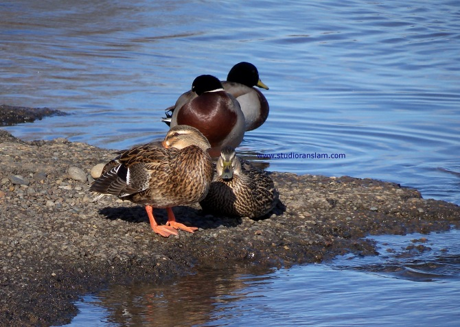 Mallards Hanging at the Willamette (2)