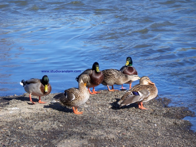 Mallards Hanging at the Willamette (4)