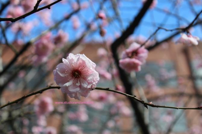 Plum Blossom (2)