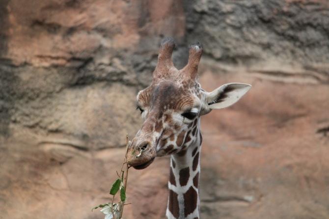 Reticulated Giraffe (4)