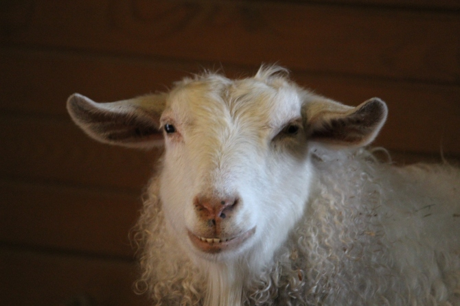 Smiling Pygora Goat at the Zoo