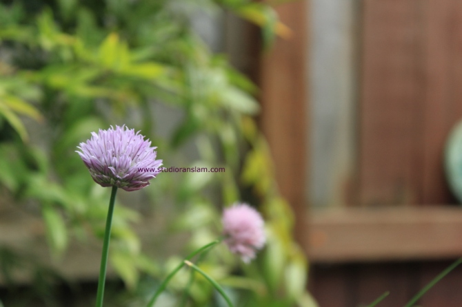 Chive Blossom Profile