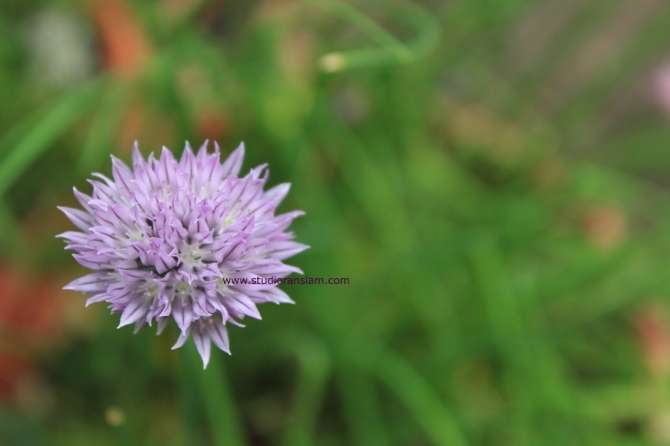 Chive Blossom