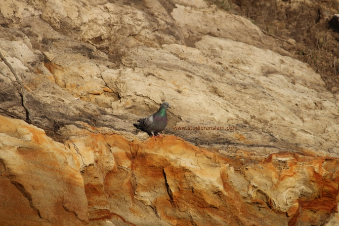 Coast Pigeons (2)