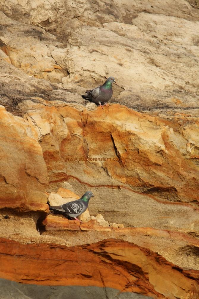 Coast Pigeons (3)