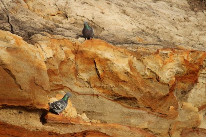 Coast Pigeons