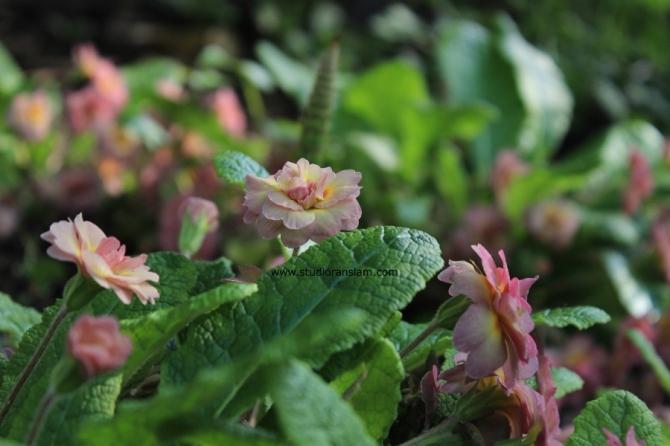 Pink Double Primrose