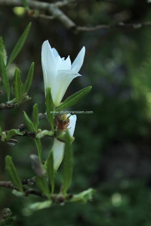 White Magnolia Single