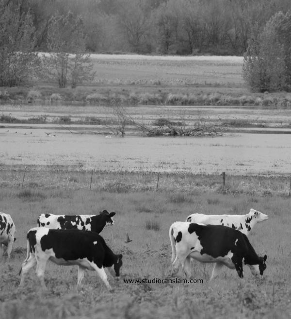 Shillapoo Cows 2