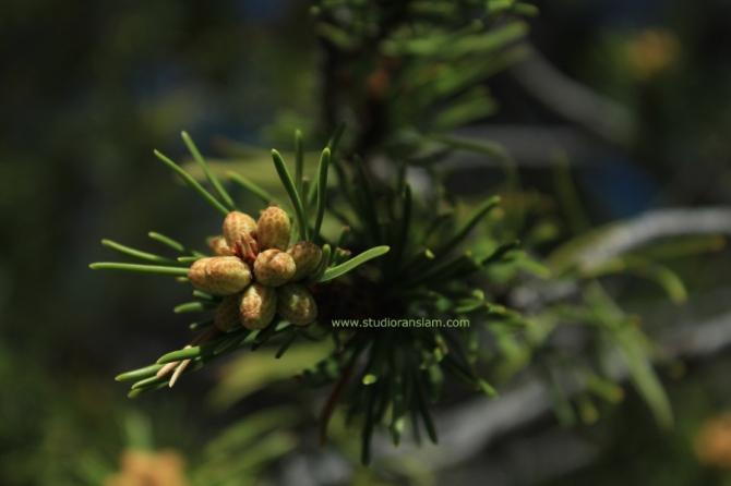Pine Close-Up (2)