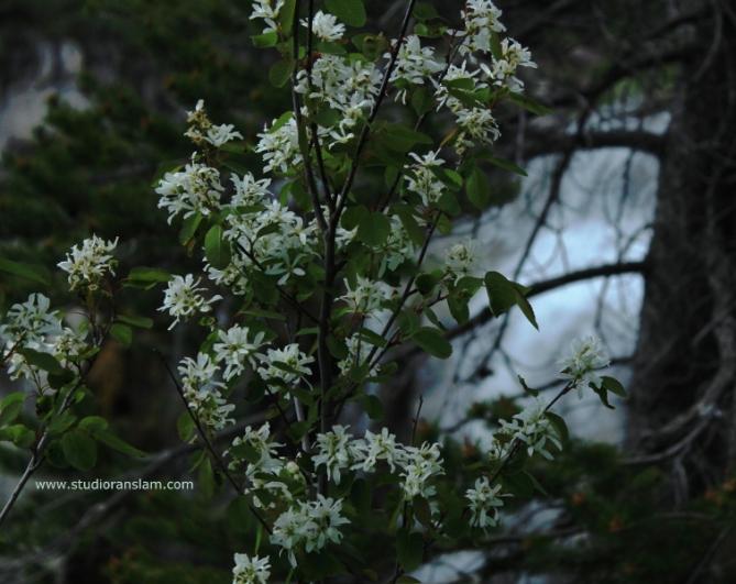 Blossoms at Paulina Falls