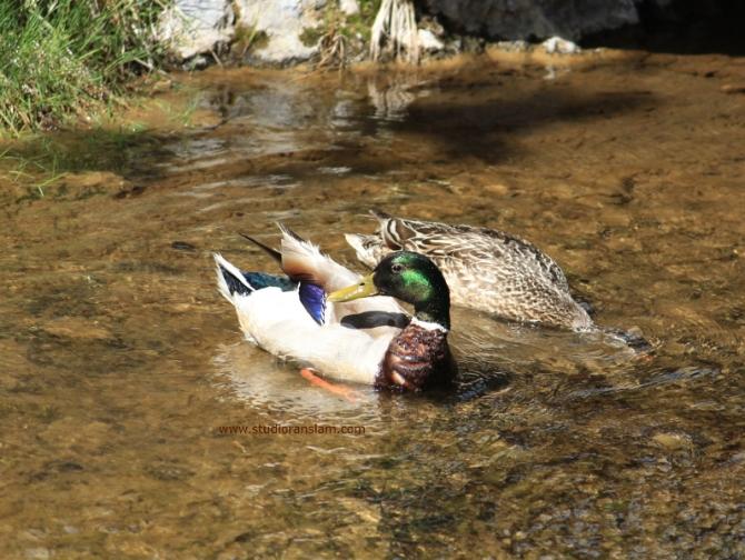 Paulina Creek Mallards (3)