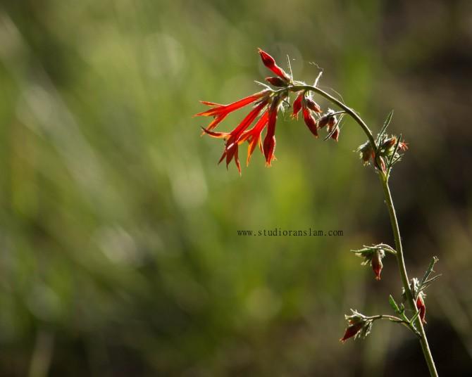 Scarlet Gillia, Gilia aggregata
