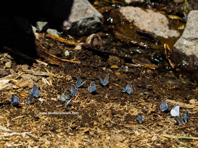 Blue Butterflies at Plaikni Falls