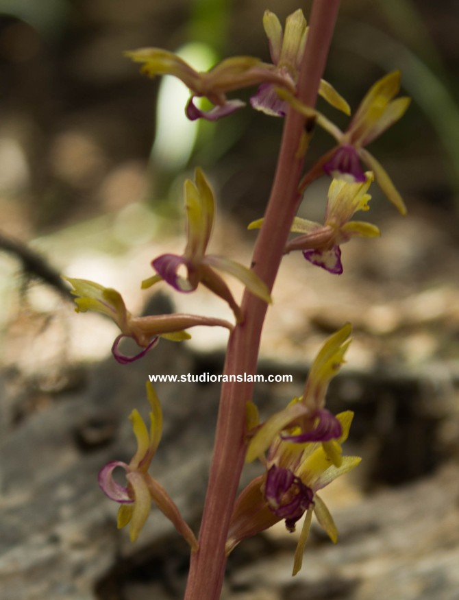 Coral Root Orchid. Corallorhia maculata
