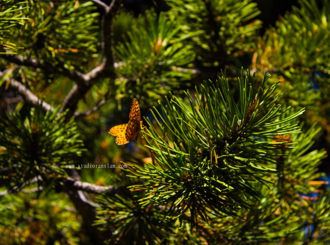 Orange Butterfly on Pine