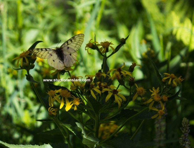 White Butterfly at Plaikni Falls