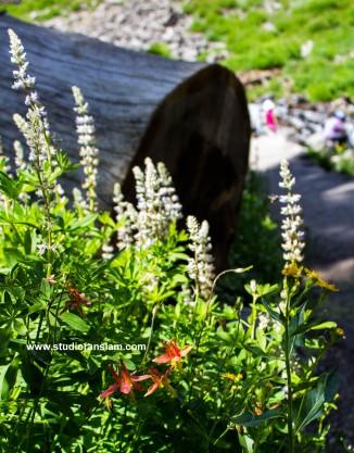 Wildflowers at Plaikni Falls