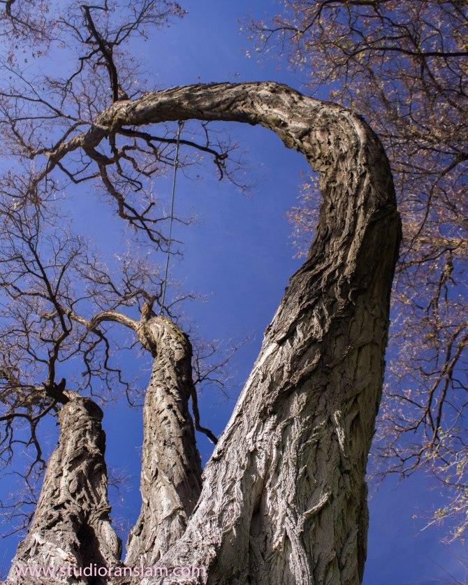 Cottonwoods in the Sky